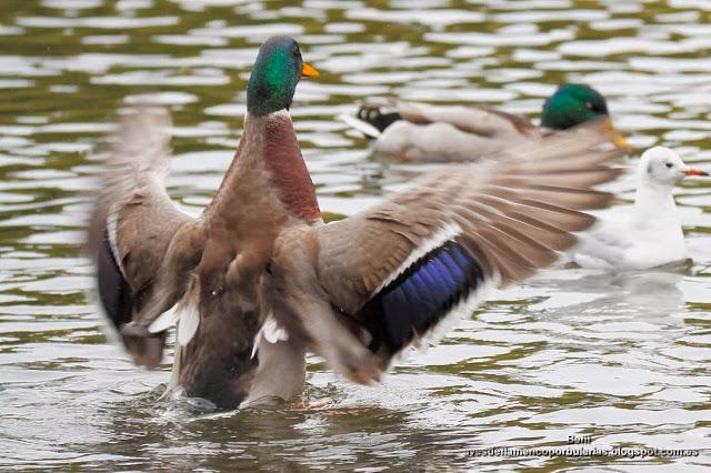 Anade real o azulón, mallard or wild duck, Anas platyrhynchos