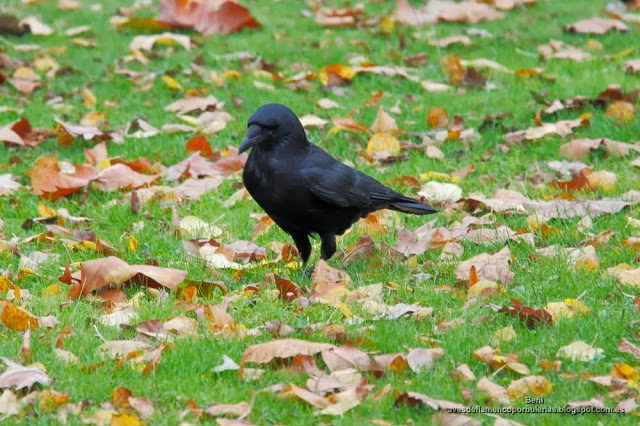 Corneja negra, carrion crow, Corvus corone