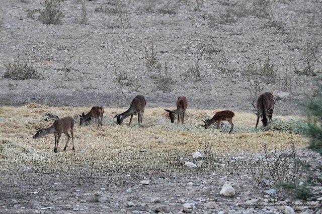 hembras y un macho de ciervo rojo