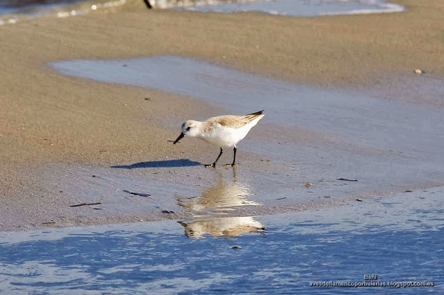 Correlimos tridactilo o playerito blanco, sanderling, Calidris alba