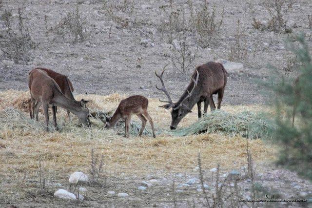 Una hembra un juvenil y un macho de ciervo rojo