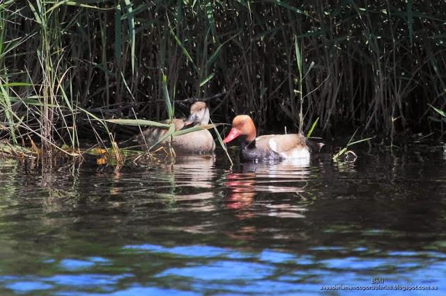 Pato colorado, Red-crested pochard, Netta rufina