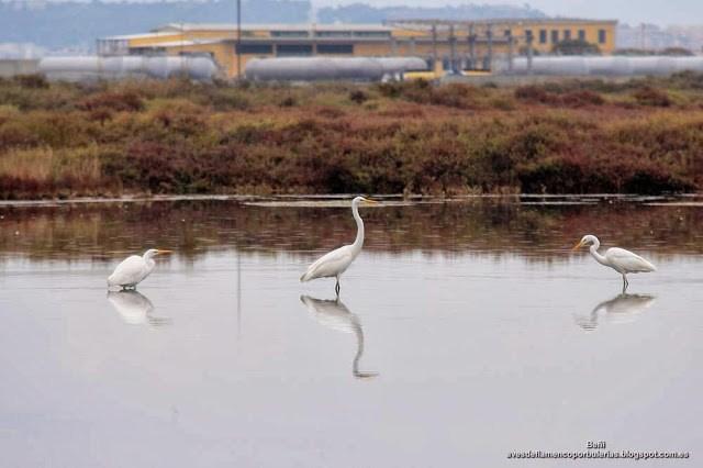 Garceta grande o garza blanca, great egret, Egretta alba