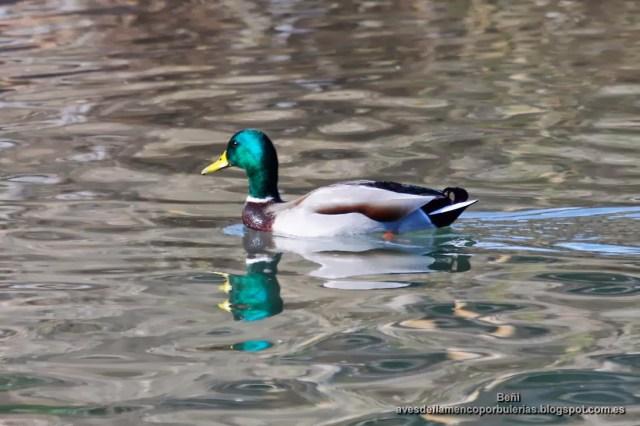 Anade real o azulon, mallard or wild duck, Anas platyrhynchos