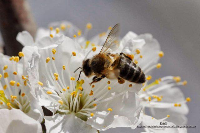 Apis mellifera o abeja melifera en la flor del cerezo