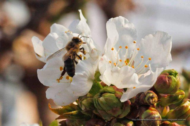 Apis mellifera en la flor del cerezo
