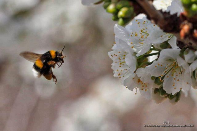 Bombus terrestris volando hacia la flor del cerezo