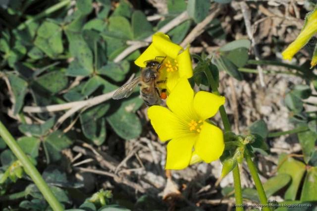 Apis mellifera o abeja melífera en la flor oxalis pes-caprae