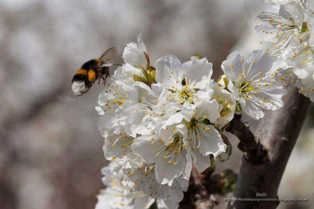 Bombus terrestris en la flor del cerezo
