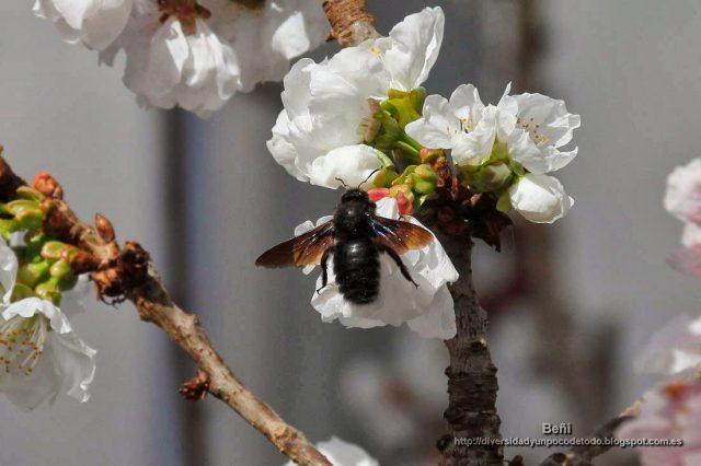 Xylocopa violacea en la flor de la cereza