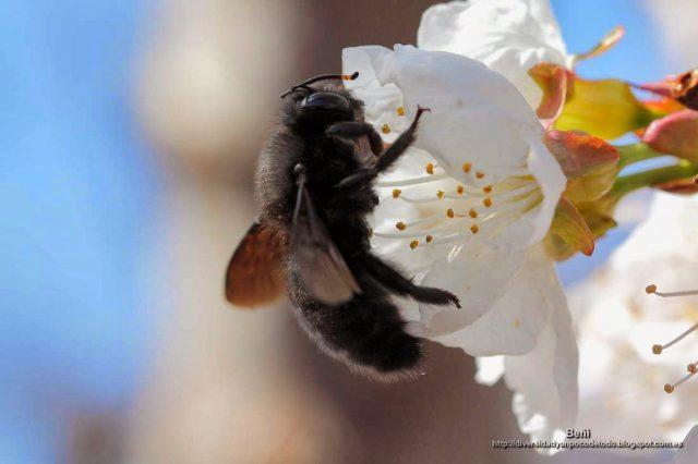 Xylocopa violacea libando en la flor del cerezo