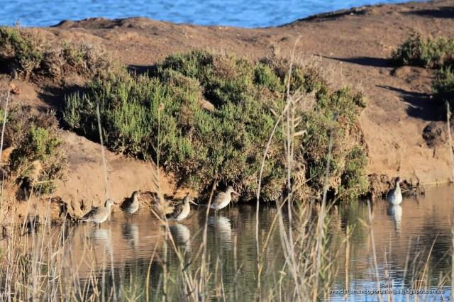 aguja colinegra en las salinas de San Pedro del Pinatar