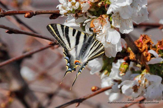 Ipchiclides podalirius en la flor del cerezo
