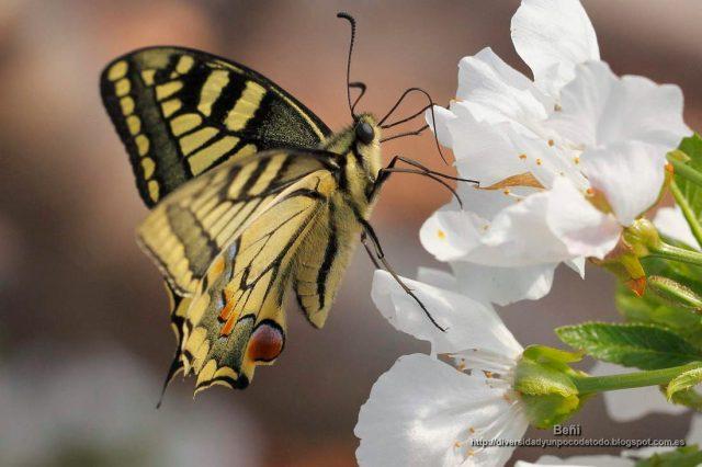 Papilio machaon en la flor del cerezo