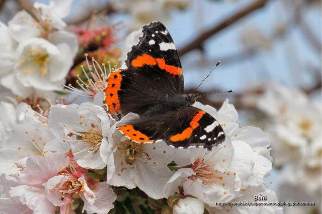 Vanessa atalanta en la flor del cerezo