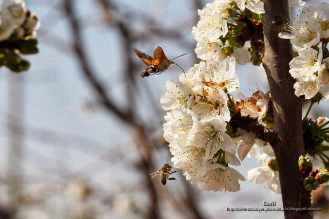 Macroglossum stellatarum en la flor del cerezo