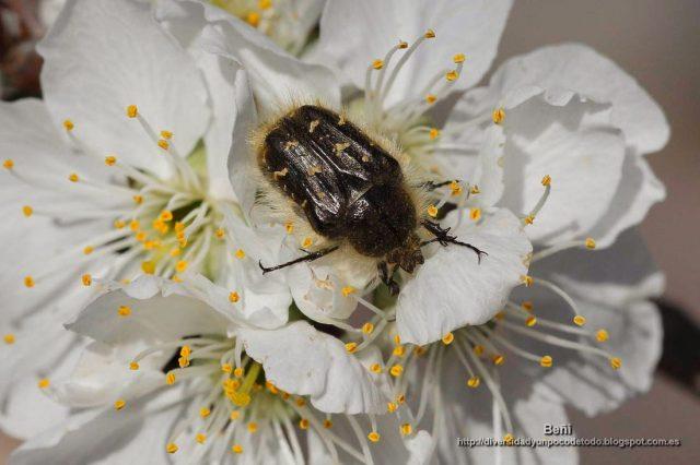 Oxythyrea funesta comiendo flores de cerezo