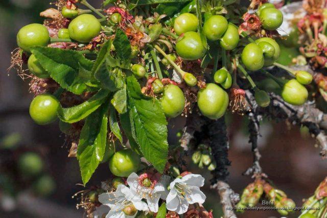 frutos verdes del cerezo