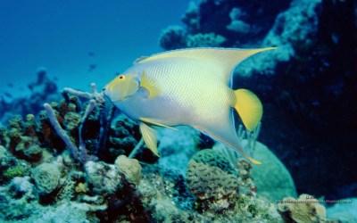 wallpaper pez angel reina en el arrecife de coral