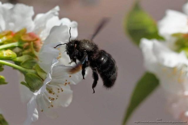 Xylocopa violacea o abejorro carpintero europeo