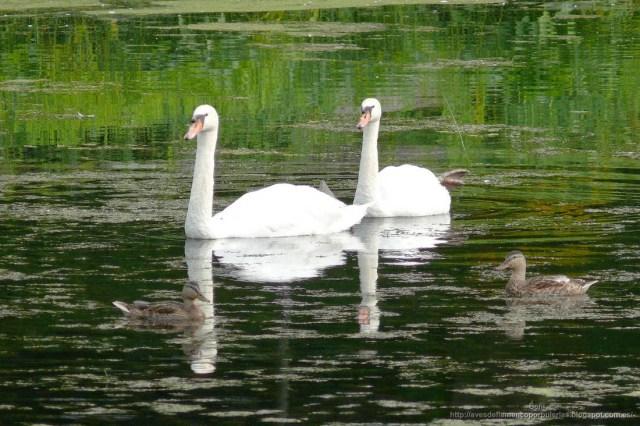 Cisne blanco, cisne vulgar, mute swan, Cygnus olor