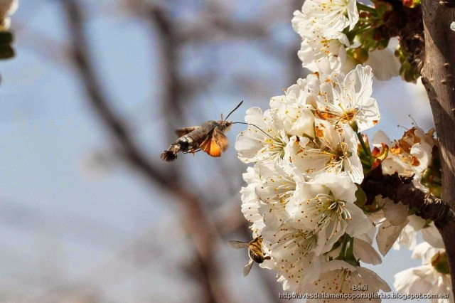 Macroglossum stellatarum, esfinge colibri.