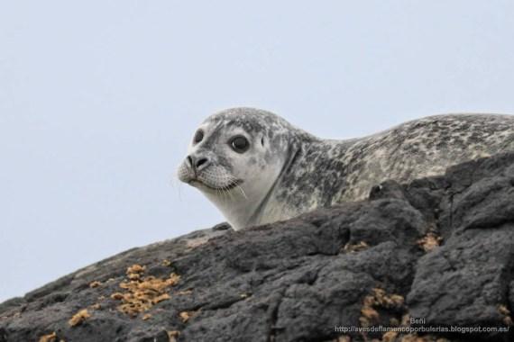 foca comun (Phoca vitulina) en islandia