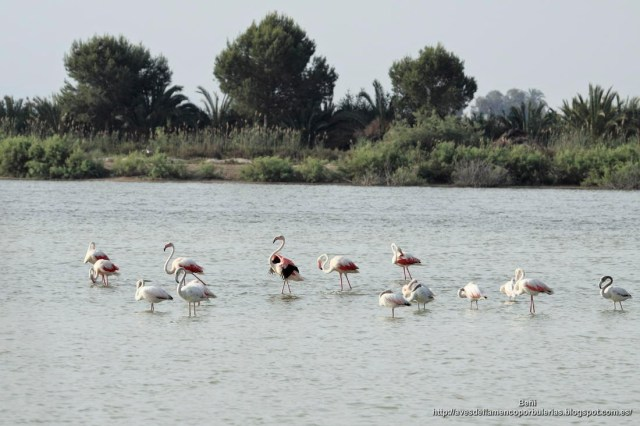 Flamenco rosado, greater flamingo, Phoenicopterus roseus