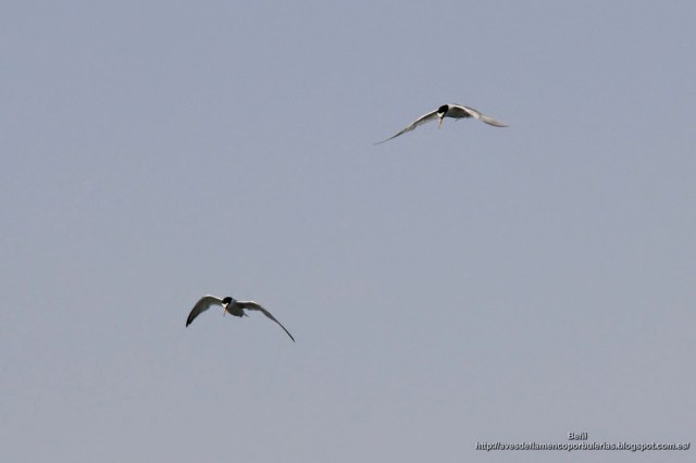Charrancito comun, little tern, Sternula albifronts