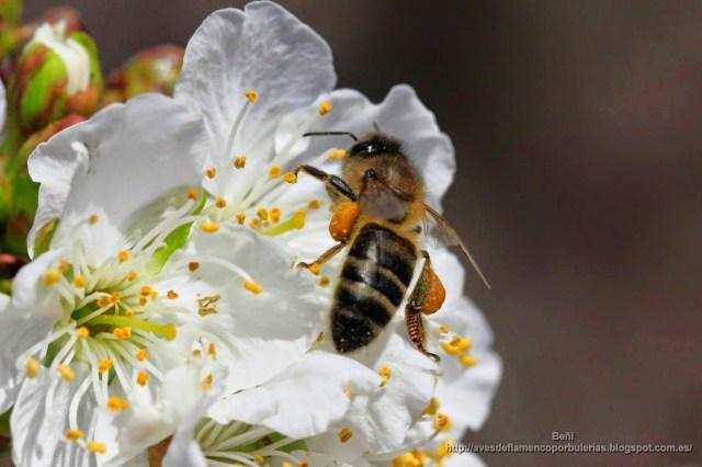 apis melifera o abeja melifera