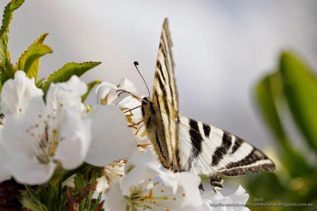 mariposa Iphiclides podalirius