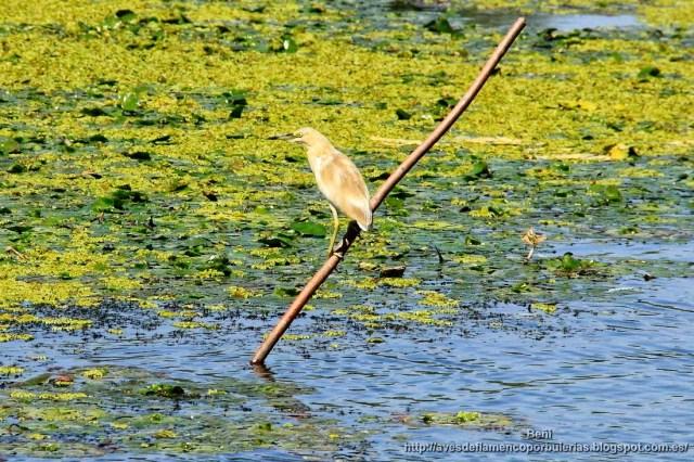 Garcilla cangrejera, squacco heron, Ardeola ralloides