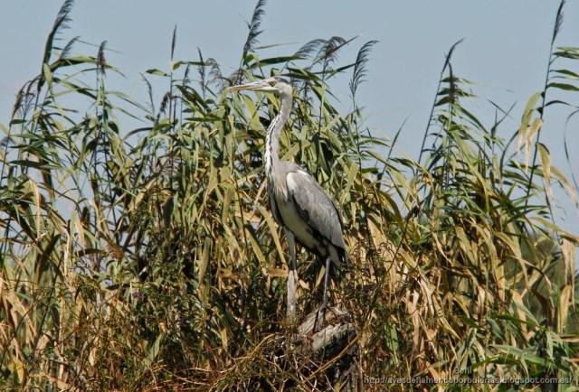 Garza real, grey heron, Ardea cinerea