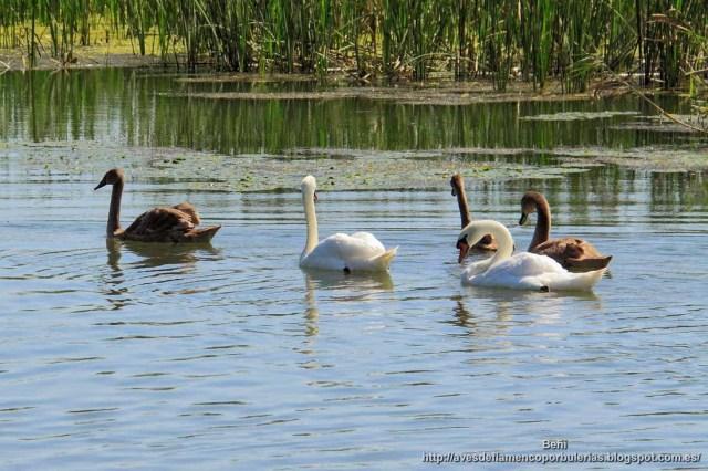 Cisne blanco, o cisne vulgar , mute swan, Cygnus olor