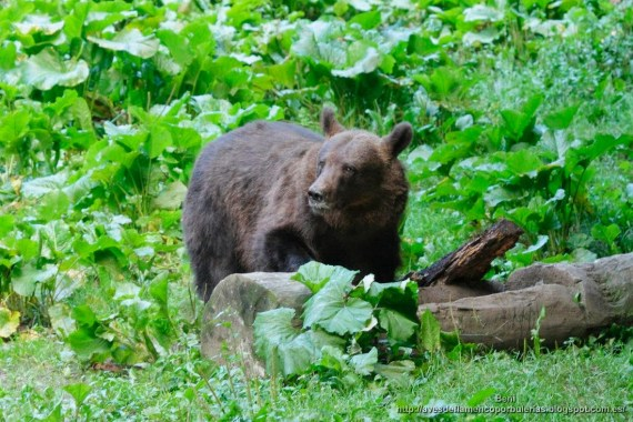 Oso pardo ( brown bear, Ursus arctos)