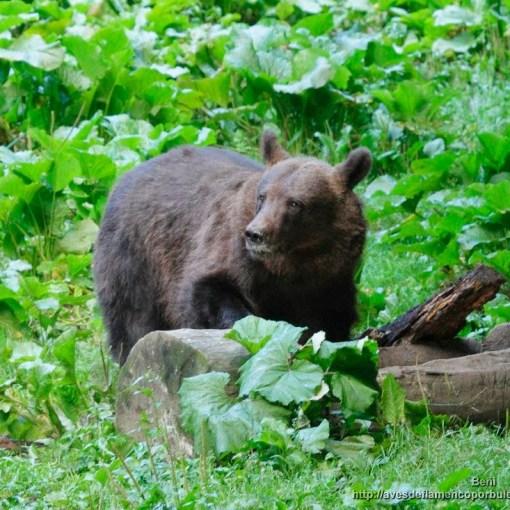 Oso pardo ( brown bear, Ursus arctos)