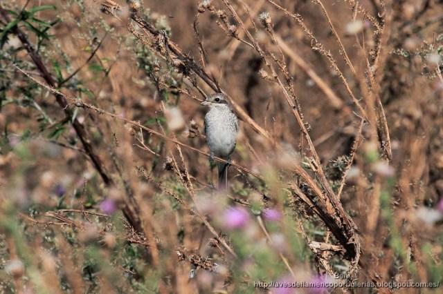 Alcaudón dorsirrojo, red-backed shrike, Lanius collurio