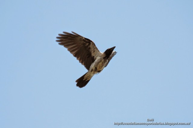 Corneja cenicienta, hooded crow, Corvus cornix