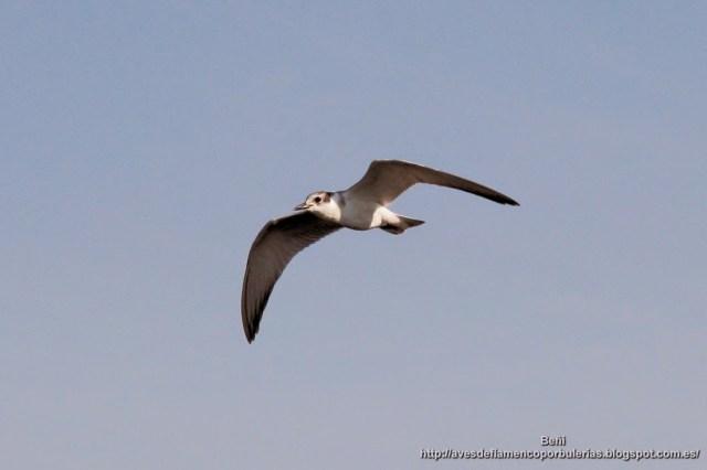 Fumarel cariblanco, whiskered tern, Chlidonias hybrida