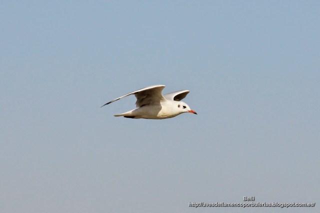 Gaviota reidora, black-headed gull, Larus ridibundus