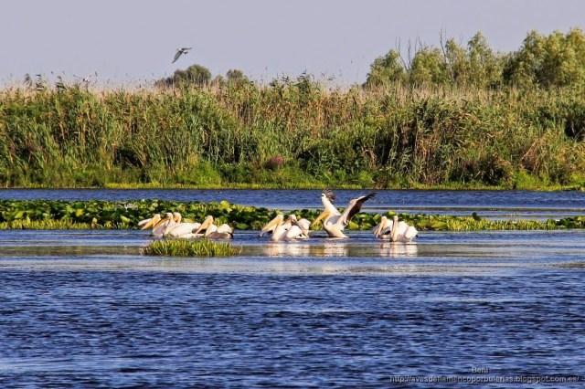 Pelícano común, great white pelican, Pelecanus onocrotalus