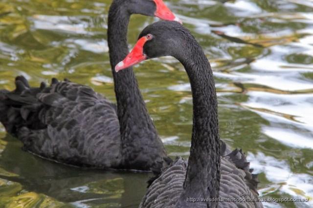 Cisne negro, black swan, Cygnus atratus