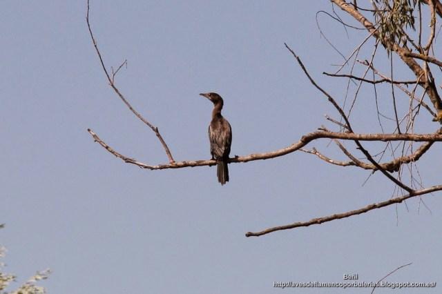 Cormorán pigmeo, pygmy cormorant, Microcarbo pygmaeus