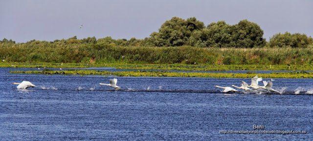 cisne blanco en el delta del danubio