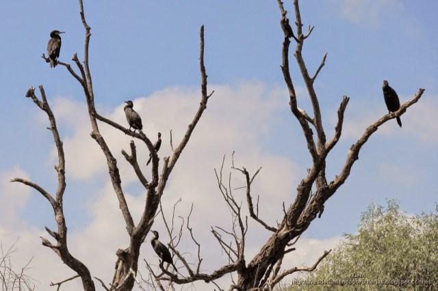 Cormorán grande, great cormorant, Phalacrocorax carbo