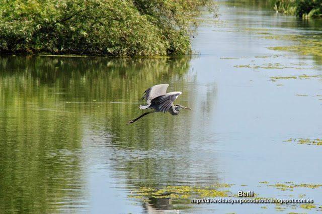 garza real en un canal del delta del danubio