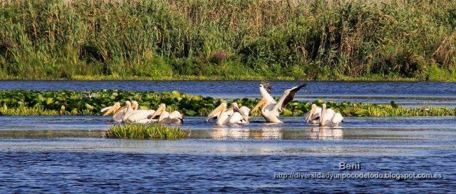 pelicano comun en el delta del danubio