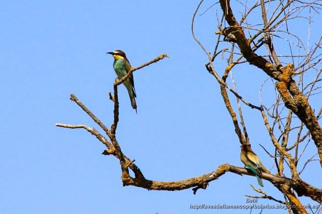 Abejaruco europeo o abejaruco común, european bee-eater, Merops apiaster