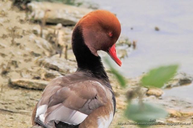 Pato colorado, Red-crested porchard, Netta rufina