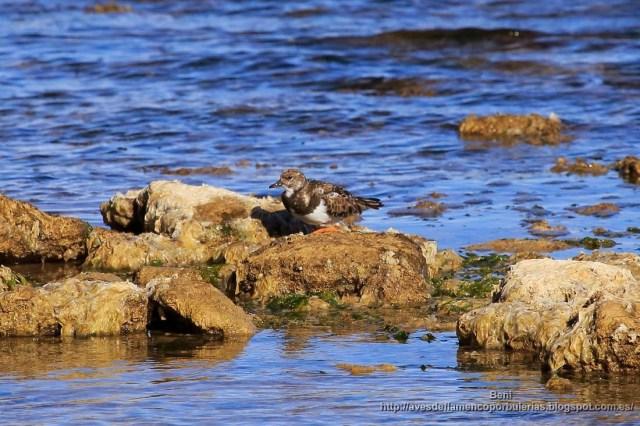vuelvepiedras común, ruddy turnstone, Arenaria interpres